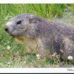 Carte postale marmotte par 25